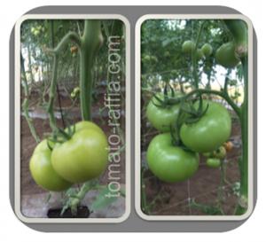 tomato-raffia.com